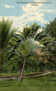 FL - Rare Travelers Palm