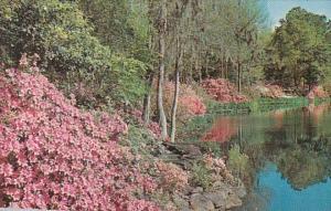 Alabama Mobile Bellingrath Gardens Camellias and Azaleas In Full Bloom
