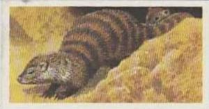 Brooke Bond Tea Vintage Trade Card African Wildlife 1962 No 16 Banded Mongoose
