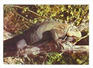 Les Saintes, Iguane, Guadeloupe, PU-1974