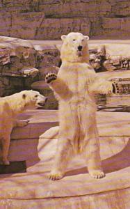 Missouri St Louis Zoo Polar Bears