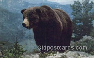 Colorado Grizzly Bear Exhibit USA Bear, Black and Brown Bear Unused
