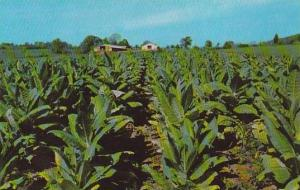 Field Of Tobacco Ready For Harvesting