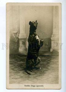 234448 German mastiff GREAT DANE Vintage PHOTO postcard