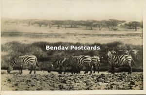 kenya, Group of Zebras, Wild Life (1930s) RPPC