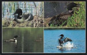 Common Loon - Large Diving Bird - Northern US and Canada