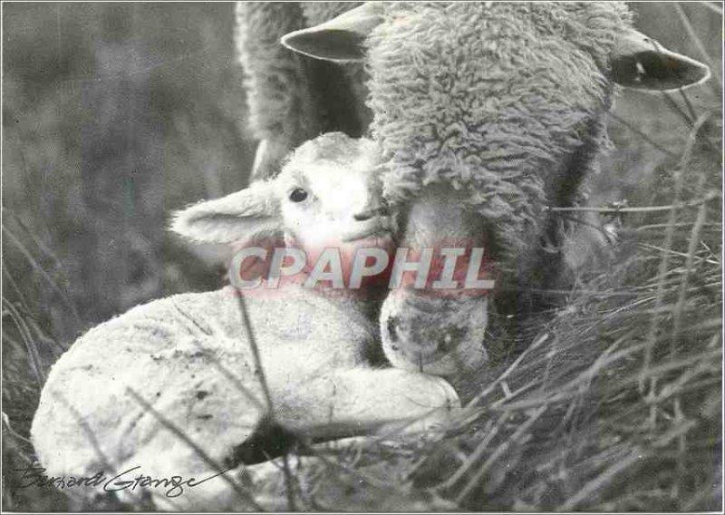 Postcard Modern Lamb Calin