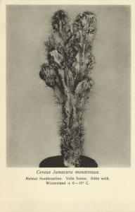 Cactus Cactaceae, Cereus Jamacaru Monstrosus. (1920s) Otto Stoye Postcard