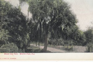 WINTER PARK , Florida , 1900-10s ; Mossy Oak Tree