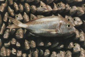 Fishes Of Tunisia Fish Poissons De Tunisie Postcard