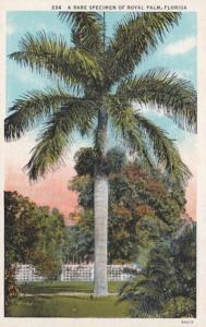 Florida Rare Specimen Of Royal Palm Curteich