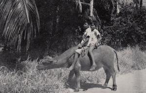 Kids riding a water Buffalo , GUAM , 30-40s