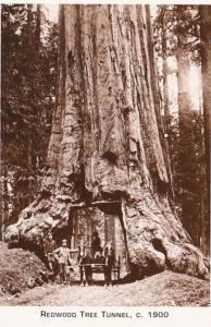 Redwood Trees Tunnel Northern California Circa 1900