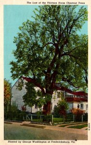 Virginia Fredericksburg The Last Of The Thirteen Horse Chestnut Trees Planted...