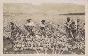 Hawaii Hawaiian Islands Pineapples At Harvest Time Real Photo RPPC