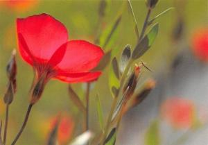 Storchenschnabel Cranesbill, Bec-de-grue Flowers