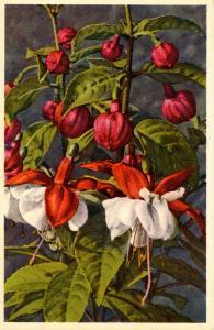 Flowers - Fuschia              (Thor & Gyger #278)
