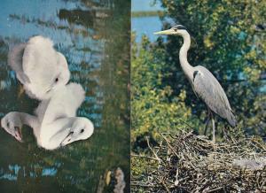 Trumpeter Swan Cygnets Grey Heron 2x 1970s Bird Postcard s