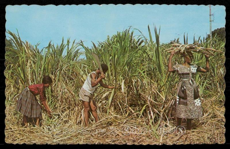 The Tropical Caribbean - Natives cutting sugar cane.
