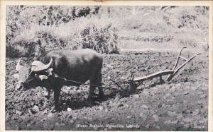 Hawaii Water Buffalo Pulling Plow