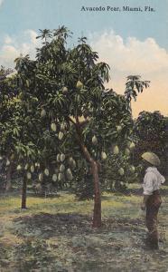 Avacado Pear, MIAMI, Florida, 00-10s