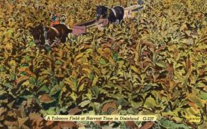 USA - Dixieland. A Tobacco Field at Harvest