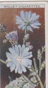 Wills Vintage Cigarette Card Wild Flowers Series No. 40 Succory 1923