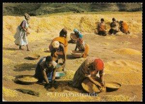 Lesotho - Basotho Women at Harvest Time