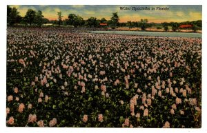 FL - Water Hyacinths