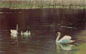 Tipton Michigan State University-Swans Swimming in Hidden Lake Gardens~1960s Pc
