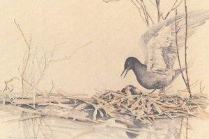 Black Tern , 1960-80s