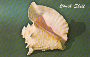 Pink Conch or Queen Conch