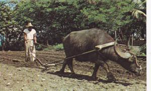 Guam's Beast of Burden, Guam,1940-1960s