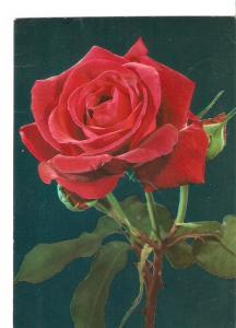 Postal 034269 : Rosa roja