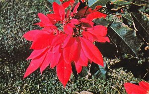 Poinsettia Bermuda Island 1967