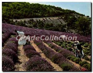Modern Postcard the true lavender cutters