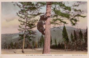 RP; Black Bear in tree , Canada , 1920-30s