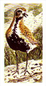Brooke Bond Tea Trade Card Wild Birds In Britain No 27 Golden Plover