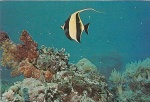 Palau Moorish Idol Fish