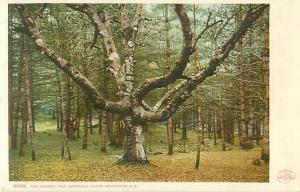 Intervale White Mountains, New Hampshire Wizard Tree 1900 UDB Postcard #8692