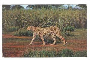 African Wild Life: Cheetah, 40-60s