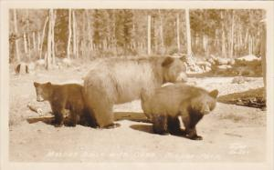Mother Bear With Cubs Jasper Park Alberta Canada Real Photo