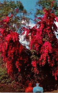 Florida Cypress Gardens Beautiful Rosea Bougainvillea
