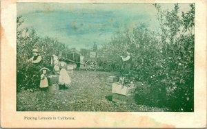 Vtg Postcard 1907 UDB - Picking Lemons in California UNP