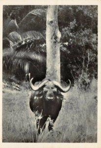 Vintage Postcard, No.36 Buffalo Buffel Kruger National Park, South Africa 22Y