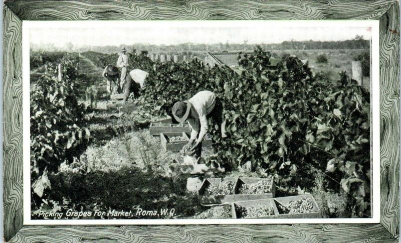 ROMA~QUEENSLAND, Australia  PICKING GRAPES 1915  P.P.I.E. Exposition Postcard