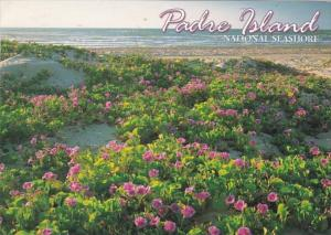 Texas Padre Island National Seashore Goat's Foot Morning Glory In Bloom ...