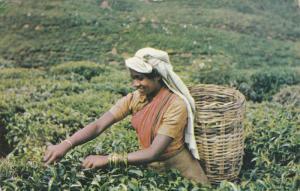 Tea Plucker , CEylon , PU-1962
