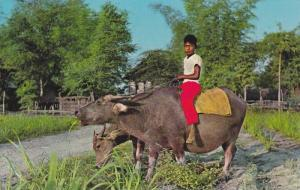 Child On Carabao, Water Buffalo, Pasturing the Carabao in Early Morning, Phil...