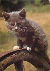 Pipkin mouse catcher cat postcard